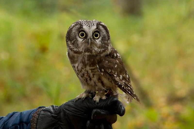 IMG_6715  Fang the Boreal Owl
