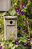 Birdhouse and morning glories, Maine (2)