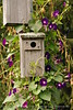 Birdhouse and morning glories, Maine (1)