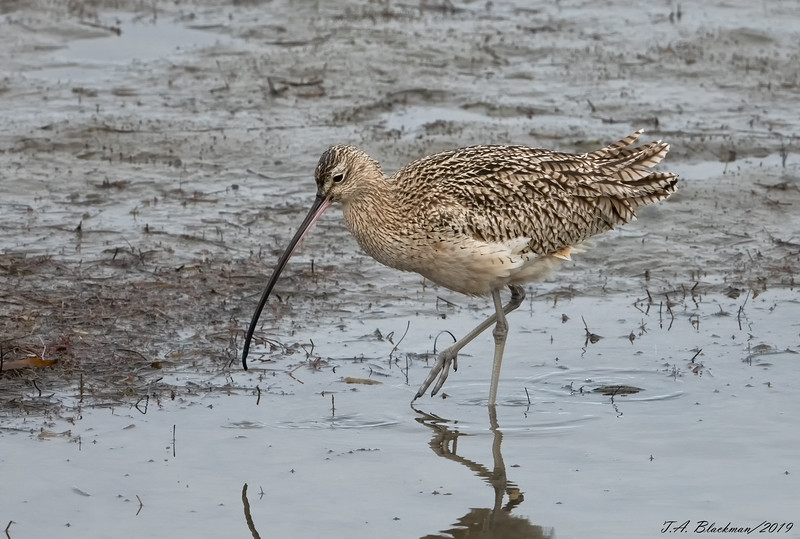 OLong-billed Curlew