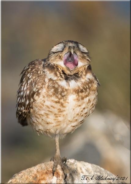 Burrowning Owl