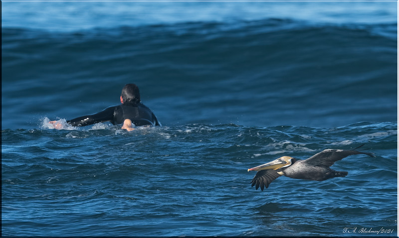 Brown Pelican and surfer
