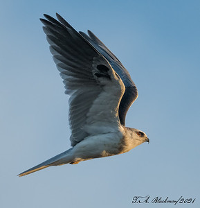 Kite_White-tailed TAB21D850-00874-Edit