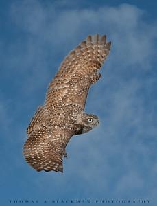 Owl_Burrowing