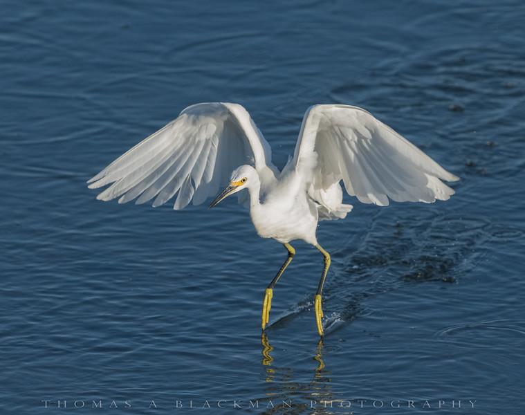 Snowny Egret