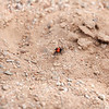 Phidippus Johnsoni – Red-Backed Jumping Spider?
