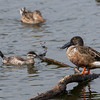 Northern Shoveler and Ruddy Duck