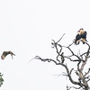 Crested Caracara and Red-shouldered Hawk
