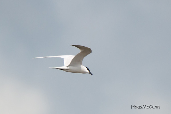 Gull-billed