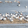 Sandwich and Royal Terns