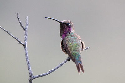 Lucifer Hummingbird