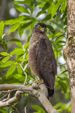 Crested Serpent-Eagle