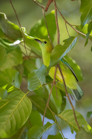 Blue-winged Leafbird - Female