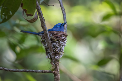 Black-naped Monarch - Merapoh - May 2015