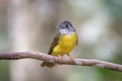 Yellow-bellied Bulbul - Merapoh - July 2016