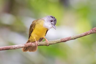 Yellow-bellied Bulbul - Merapoh - July 2016