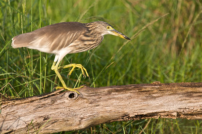Pond Heron   There are plenty of pond-herons around the edges of the reeds and edges of ponds. You can get full frame on this bird if you dont scare it away first. Their tolerance level is not very high but you might be lucky sometimes.