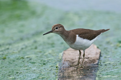 Common Sandpiper  This one can be friendly too.....