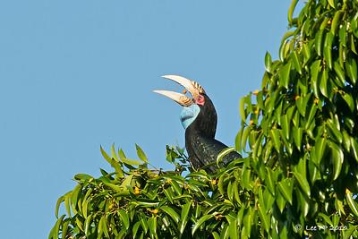 Wreathed hornbill (female) @ Langkawi, Kedah, Malaysia
