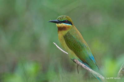 Blue-tailed bee-eater  wishing for a better light here.........