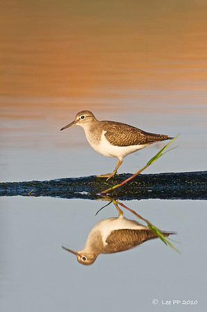 Common Sandpiper catching the last bit of the morning glow.....