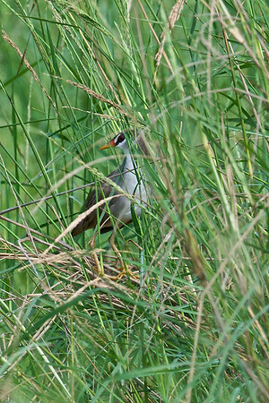 White-browed crake  You need lots of patience and eye-power to find this one. A binoculars would definitely be helpful!