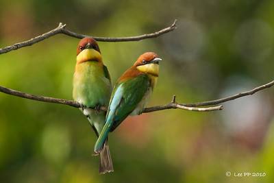 Chestnut headed bee-eaters @ Penang, Malaysia