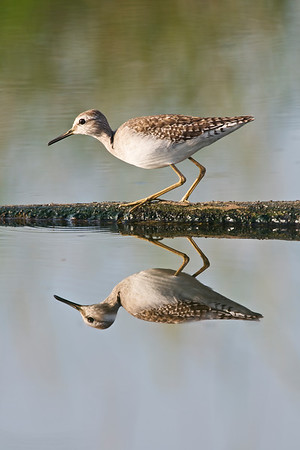 Wood Sandpiper & its reflection  Go early, so that you can get still waters that give out great reflections....