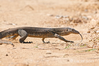 Monitor Lizard  You never know who else would be crossing the road.....