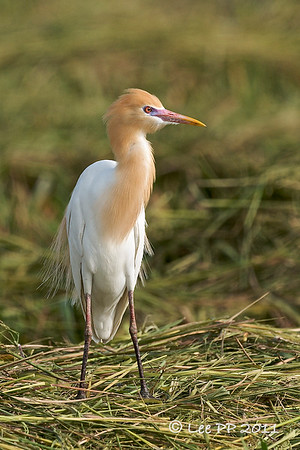 Cattle egret in its breeding plumage is quite pretty