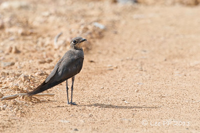 Oriental pratincole  a nice surprise i found along the unpaved road......