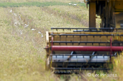 Harvesting paddy.....cattle egrets busy picking their prey from the trail left behind by the machine......