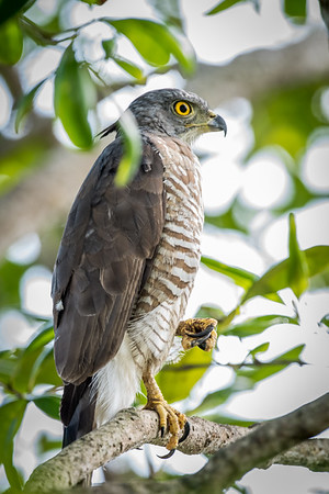 Crested Goshawk - Sungai Burong - 2 May 2015 - What's hidden inside the clenched claws?