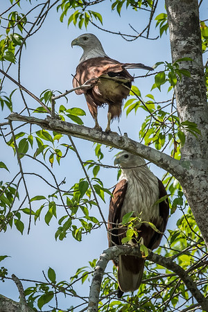 Brahminy kites - Sungai Tiang - 2 May 2015 - With the different sizes, could this be a parent and child?