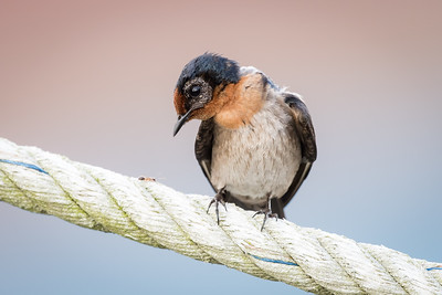Pacific swallow - Sungai Burong, Bagan Datuk - 2 May 2015 - I dont understand why the skin around the eyes were so...initially, thought it was blind.