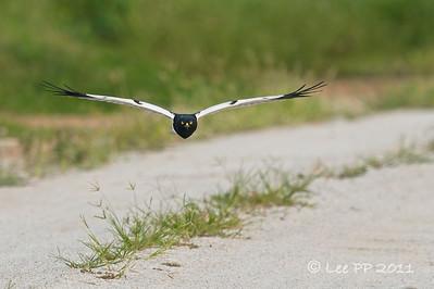 Pied Harrier - male