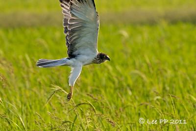Eastern Marsh Harrier - male