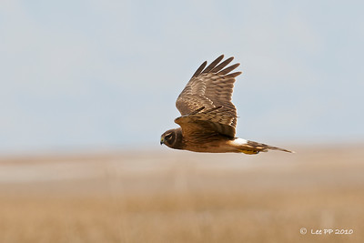 Northern Harrier  Quite common to see them in the Fall.