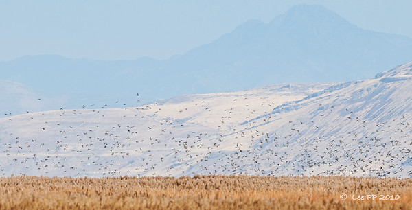 The waterfowls were settling back again......  @ Bear River Bird Refuge