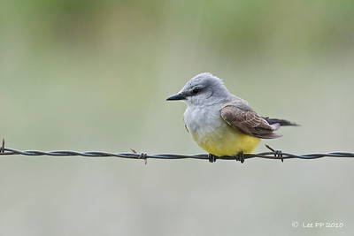 Western Kingbird  Along the drive into the Refuge - scrub and farmland.