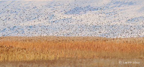 Could hear the screams of the waterfowl in far distance. A big flock flew up in alarm. That area is not accessible to public - probably to minimize disturbances to the waterfowl. Would be awesome if can get nearer.......  @ Bear River Bird Refuge