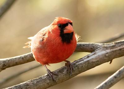 Southwest Cardinal