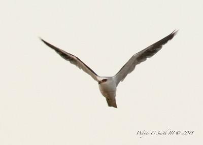 White Tailed Kite Hunting