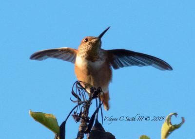 Rufus Hummingbird
