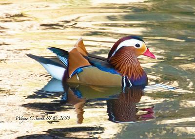 Rare Mandarin Duck in the Wild