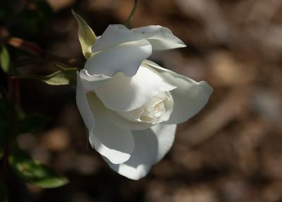 Wild White Rose Bud