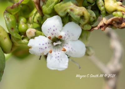 White Succulent Shore Flower