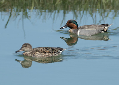 Female and Male Green Winged Teal