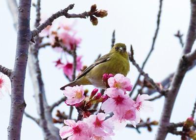 Lesser Gold Finch, Cherry Blossom Festival