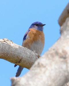 Western Blue Bird